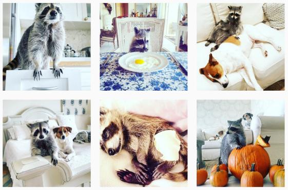 Instagram Pumpkin the racoon2.PNG